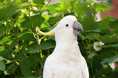 Wild White Sulphur-crested cockatoo parrot Royalty Free Stock Photography