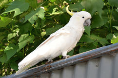 Wild White Sulphur-crested cockatoo parrot Stock Photos