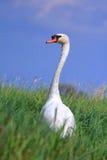Wild white swan Stock Image