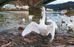 Wild white swan Royalty Free Stock Photography