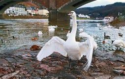 Wild white swan Royalty Free Stock Photography