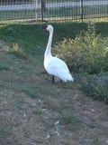Wild white swan stock photography