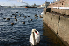 Wild white swan swimming in industrial area Stock Photography