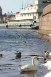 Wild white swan swims in river at center industrial city. Stock Image