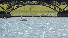 Wild white swan swims in the river city stock video