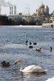Wild white swan swims in river city, an urban environment. Stock Photos