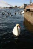 Wild white swan in an urban environment. Stock Image