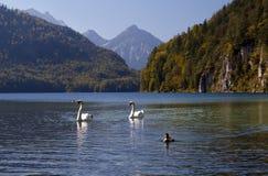 Wild white swans on Alpsee Stock Photo