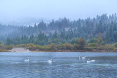 Wild white swans on lake in Alps Stock Photo