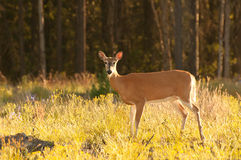 Wild white-tailed deer Royalty Free Stock Images