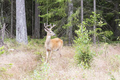 Wild white tailed deer in forest Stock Photo