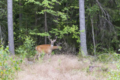 Wild white tailed deer in forest Royalty Free Stock Photo