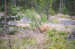 Wild white tailed deer in forest Royalty Free Stock Photography