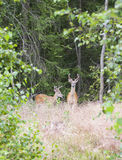 Wild white tailed deer in forest Royalty Free Stock Photos