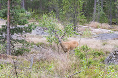 Wild white tailed deer in forest Stock Photos