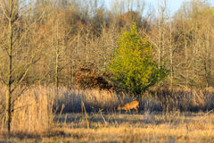 Wild White Tailed Deer withing the wildlife managment area in Bald Knob, Arkansas. Bald Knob NWR - March 2017, Wild White Tailed Deer within the wildlife Royalty Free Stock Photography