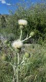White Thistles. Wild white thistles royalty free stock photo