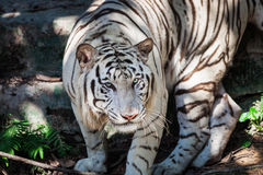 Wild white tiger Stock Photo