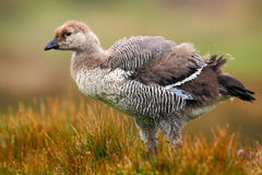 Wild white Upland goose, Chloephaga picta, walking in the red autumn grass, Argentina Stock Photography