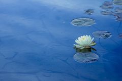 Wild White water lily with a yellow core Stock Photo