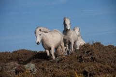 Wild white Welsh Ponies Stock Photography