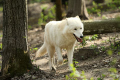 Wild white wolf Stock Photo