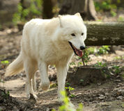 Wild white wolf Royalty Free Stock Photo