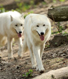 Wild white wolf stock photography