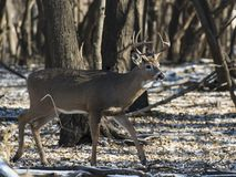 A Wild Whitetail Buck in Minnesota in Late Autumn. A trophy Whitetail Buck in the wild in Central Minnesota in late autumn during the rut royalty free stock images