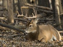 A Wild Whitetail Buck in Minnesota in Late Autumn. A trophy Whitetail Buck in the wild in Central Minnesota in late autumn during the rut royalty free stock image