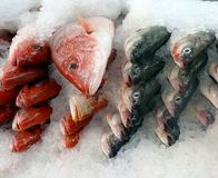 Wild whole red snapper on ice at fish market. Wild whole red snapper fish heads on a tray with ice at seafood market Royalty Free Stock Photography