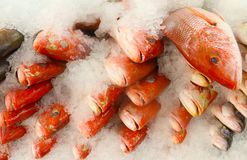 Wild whole red snapper on ice at fish market. Wild whole red snapper fish heads on a tray with ice at seafood market Stock Photography