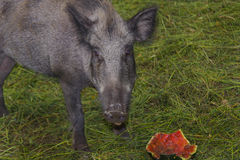 Wild wild boar Stock Images