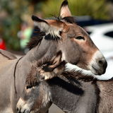 The Wild Wild Burro's of Oatman Stock Images