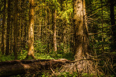 Wild, Wild Forest. Wild pine forest in summer Stock Images