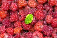 Wild raspberries collected in the forest from wild shrubs royalty free stock photo
