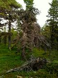 Wild wild wild forest in the North (Russia, Murmansk) Royalty Free Stock Photos