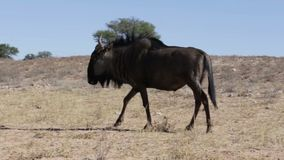 Wild Wildebeest Gnu grazing stock footage