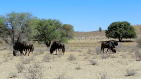 Wild Wildebeest Gnu grazing stock footage