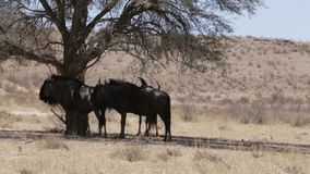 Wild Wildebeest Gnu grazing, Kgalagadi stock video