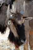 Wild Wildebeest Gnu Stock Photo