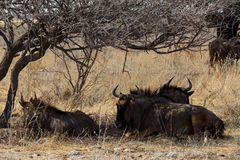 Wild Wildebeest Gnu Royalty Free Stock Photos