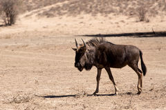 Wild Wildebeest Gnu Stock Images