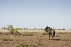 Wild wildebeest standing in a burned savannah, Kruger national park, SOUTH AFRICA Stock Photography