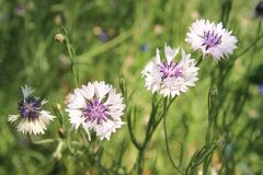 Wild wildflowers cornflowers on a green background stock images
