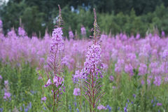 Wild willow-herb sally-bloom blossom. On field close up Stock Images