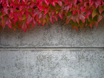 Wild wine. Covering a concrete wall in autumn Royalty Free Stock Images