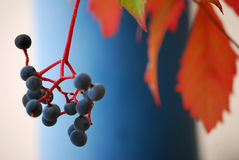 Wild wine in autumn Royalty Free Stock Image