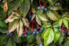 Wild wine in autumn Leaves and berries Royalty Free Stock Photography
