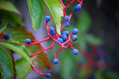 Wild wine in autumn Stock Photography